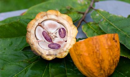 Cioccolato,e cacao, proprietà nutrizionali