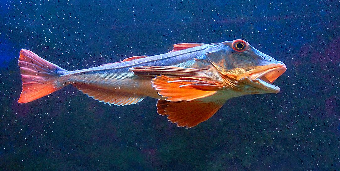 Ricetta pesce gallinella lessa
