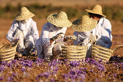 Zafferano, coltivazione, produzione e proprietà nutrizionali