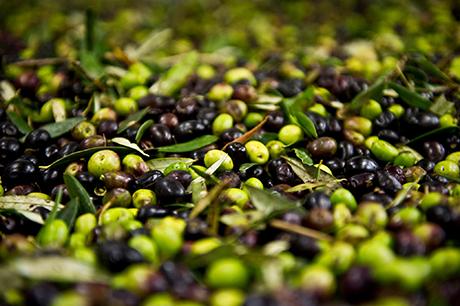 L'olio d'oliva è l'unico olio che si estrae da un frutto invece che da un seme. E del frutto mantiene colore e profumi, per non parlare del carico di molecole dal grande pregio nutrizionale.