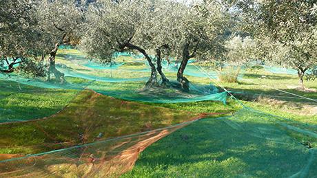 """la raccolta delle olive è l'evento dell'autunno inoltrato nelle campagne delle zone di produzione. Quasi un rito, nell'attessa dell'olio """"novo"""""""