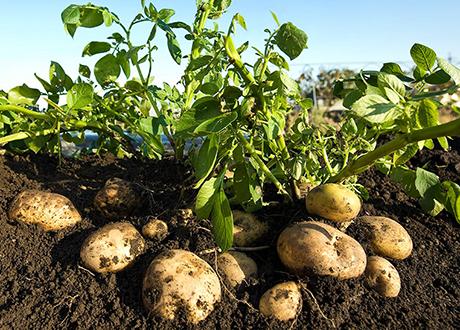 Patata, proprietà nutritive e valori nutrizionali, solanina, benefici e controindicazioni