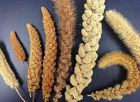 Coltivazione e varietà del miglio, proprietà nutritive e valori nutrizionali
