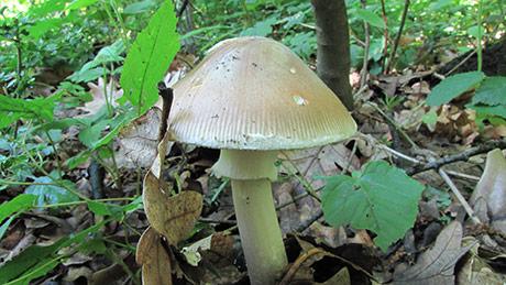 Funghi velenosi e intossicazione da funghi